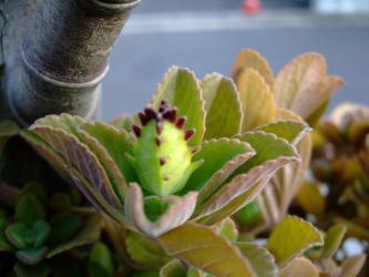 花芽wプレクトランサス・ネオチラスPlectranthus neochilus2010.12.24