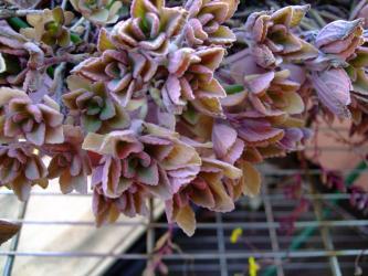 プレクトランサス・ネオチラスPlectranthus neochilus2011.01.07