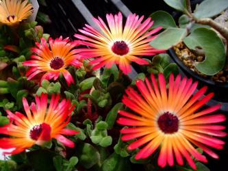 ドロテアンサス リビングストン・デージー /紅波璃 Dorotheanthus bellidiformis cv. Livingstone Daisy。(syn.Mesembryanthemum criniforum)2011.03.06