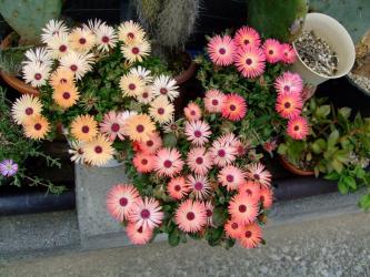 ドロテアンサス リビングストン・デージー /紅波璃 Dorotheanthus bellidiformis cv. Livingstone Daisy。(syn.Mesembryanthemum criniforum)2011.05.10