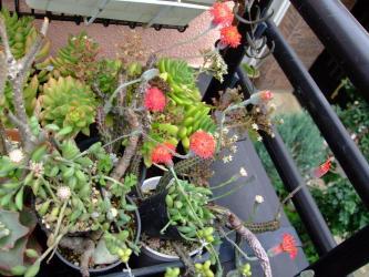 赤い花~セネシオ スタペリフォルミス(Senecio stapeliformis)、白い花~大弦月城/京童子(Senecio herreanus )