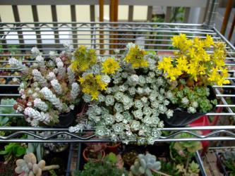 セダム スパスリフォリウム ケープブランコ(Sedum spathulifolium)白雪ミセバヤ