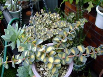 ヒロテレフィウム・斑入りミセバヤ(Hylotelephium sieboldii Mediovariegatum)虎斑みせばや