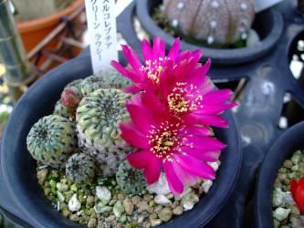 スルコレブチア グリーン ラウシー(Sulcorebutia rauschii cv.)2011.06.08