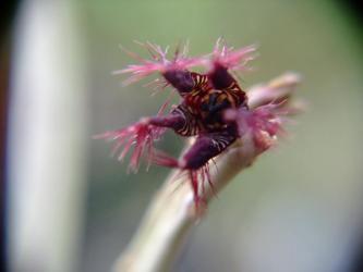 ガガイモ科 カラルマ属 アドセンデス(Caralluma adscendens)開花2011.06.12