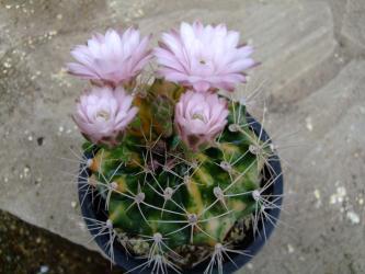 ギムノカリキウム お名前不詳の斑入り~Gymnocalycium sp.variegata 2011.06.19