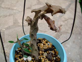 セロペギア属 アルマンディー( Asclepiadaceae Ceropegia armandii )2011.06.26