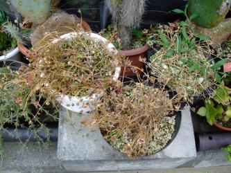 ドロテアンサス リビングストン・デージー /紅波璃 Dorotheanthus bellidiformis cv. Livingstone Daisy。(syn.Mesembryanthemum criniforum)2011.07.11花柄~種!