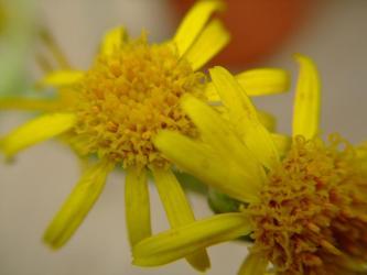 キク科 セネシオ属 新月~しんげつ(Asteraceae Senecio scaposus)2011.07.01