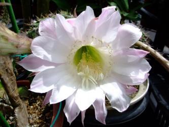 エキノプシス 花盛丸(かせいまる)Echinopsis tubifloraと桃花短毛丸との交配種~開花2011.07.05