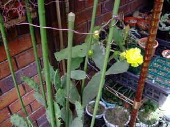 オプンチア 宝剣(ほうけん) Opuntia lanceolata ~2011.07.06開花!