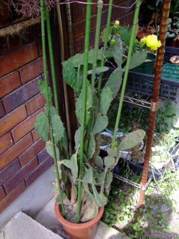 オプンチア 宝剣(ほうけん) Opuntia lanceolata 2011.07.06ショボ開花