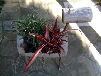 赤右側~クリプトベルギア レッド バースト~ Cryptbergia Red Burst(Crypthanthus bahianus × Billbergia nutans)