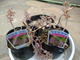 ラケナリア属 スプレンディダ(Lachenalia splendida)2011.07.21花柄付けたまま休眠中!そろそろ種が?えきている?