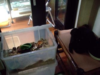 オカヤドカリと家の猫~タコちゃん!2011.07.25