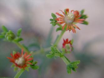 メストクレマ ツベローサム(Mestoklema tuberosum var. macrorhizum)2011.07.26開花
