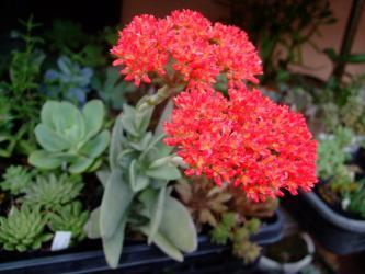 クラッスラ 神刀(じんとう)Crassula perfoliata var. falcata, var. minor2011.08.02開花