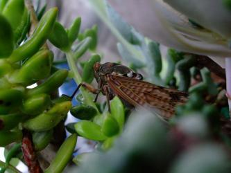 多肉植物と蝉!2011.08.05