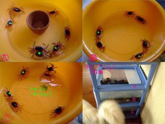 A,B,C棟の沢蟹たち~脱皮時に★になった固体以降元気で生きています!2011.06.01~08.09~70日目