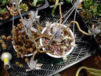 吊鉢夏の温室でチリチリになってしまいました!月花美人&オーロラ
