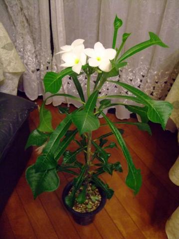 キョウチクトウ科 プルメリア属 プディカ(Apocynaceae Plumeria pudica)同義語ブライダルブーケなど2011.08.15
